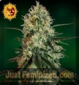 Barneys Farm Chronic Thunder Feminised skunk Seeds deal
